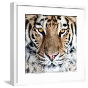 Bengal Tiger Eyes by C. McNemar