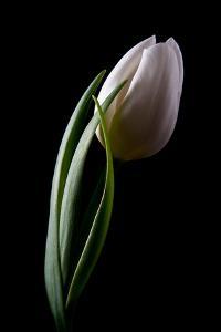 Tulips III by C. McNemar