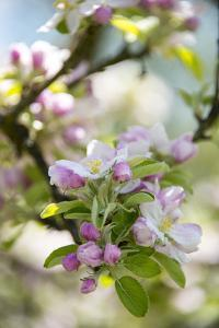 Apple Blossoms by C. Nidhoff-Lang