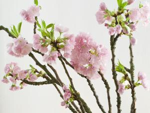 Blossoming Cherry Branches by C. Nidhoff-Lang