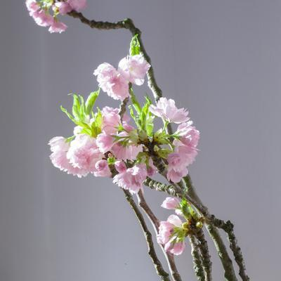Branch of Cherry Blossoms in Front of Light Grey Background