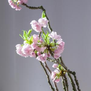 Branch of Cherry Blossoms in Front of Light Grey Background by C. Nidhoff-Lang