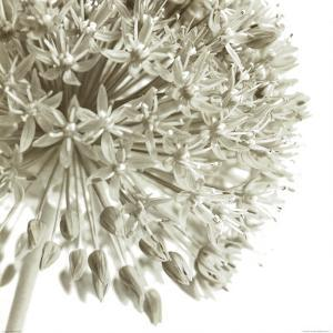 Allium I by C. Sands