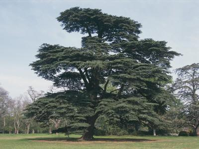 Cedar of Lebanon Tree on a Landscape (Cedrus Libani)