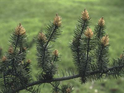 Close-Up of a Pine Tree