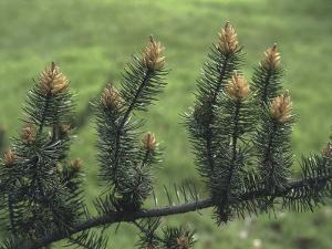 Close-Up of a Pine Tree by C. Sappa