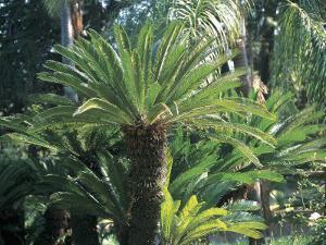 Close-Up of a Sago Palm Tree in a Garden (Cycas Revoluta) by C. Sappa