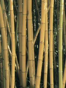 Close-Up of Bamboo in the Forest (Phyllostachys Sulphurea) by C. Sappa