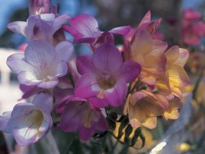 Close-Up of Freesia Flowers by C. Sappa