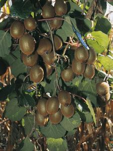 Close-Up of Kiwi Fruits Hanging on a Tree, Lalinde, Aquitaine, France by C. Sappa