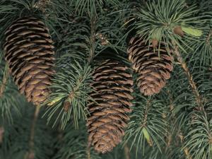 Close-Up of Pine Cones on a Blue Pine Tree (Pinus Wallichiana) by C. Sappa