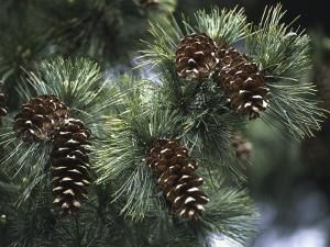 Close-Up of Pine Cones on a Macedonian Pine Tree (Pinus Peuce) by C. Sappa