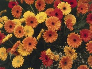 Close-Up of Transvaal Daisy Flowers (Gerbera) by C. Sappa