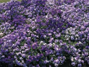 Close-Up of Violet Flowers by C. Sappa