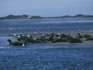 Group of Seals on the Beach, Miquelon Island, Saint Pierre and Miquelon by C. Sappa