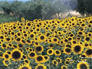 High Angle View of Sunflowers in a Field, Assisi, Umbria, Italy (Helianthus Annuus) by C. Sappa
