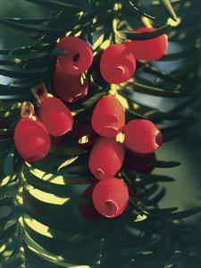 Low Angle View of Fruits on Yew Tree (Taxus Baccata) by C. Sappa