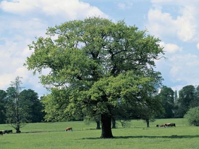 Oak Tree on a Landscape (Quercus)