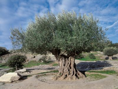 Olive Tree in the Forest (Olea Europaea)