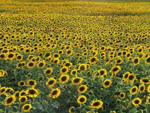 Sunflowers in a Field, Umbria, Italy by C. Sappa