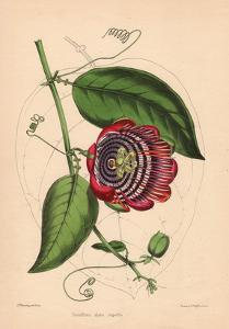 Winged-Stem Passion Flower with Crimson, Purple and White Flowers by C.T. Rosenberg