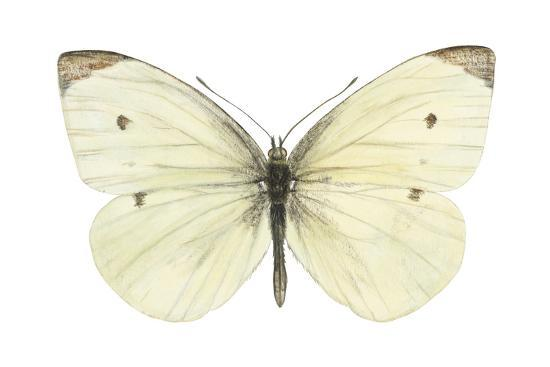 Cabbage Butterfly (Pieris Rapae), Insects-Encyclopaedia Britannica-Art Print