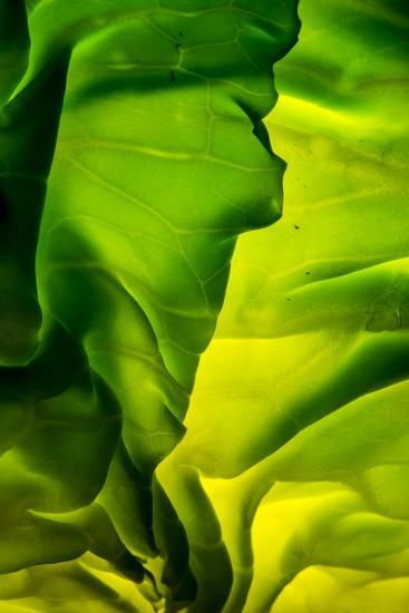 Cabbage detail showing veins. Lit from within.-Brent Bergherm-Premium Photographic Print