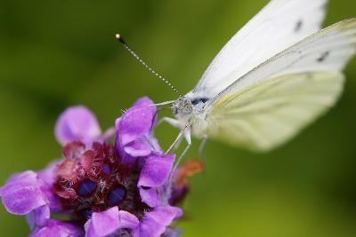 Cabbage White Butterfly, Pieris Brassicae, Blossom, Sitting-Alfons Rumberger-Photographic Print