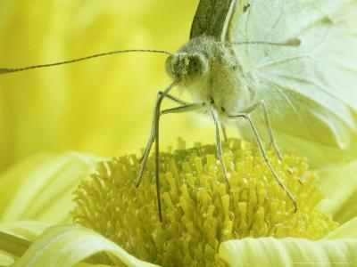 Cabbage White Butterfly, Pieris Brassicae-London Scientific Films-Photographic Print