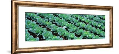 Cabbage, Yamhill Co, Oregon, USA--Framed Photographic Print
