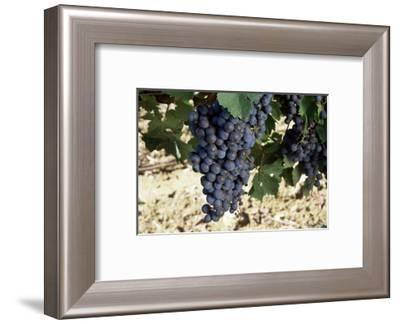 Cabernet Sauvignon Grapes, Gaillac, France-Robert Cundy-Framed Photographic Print
