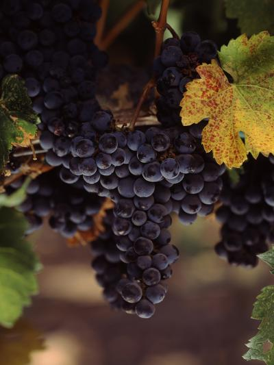 Cabernet Sauvignon Grapes in Vineyard, Wine Country, California, USA--Photographic Print