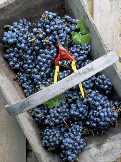 Cabernet Sauvignon Grapes, Pauillac-Medoc, Aquitaine, France-Michael Busselle-Photographic Print