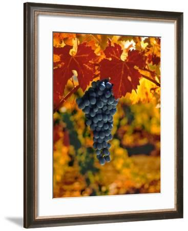 Cabernet Sauvignon Grapes-Charles O'Rear-Framed Photographic Print