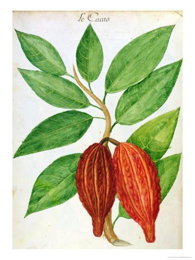 Cacao, from a Manuscript on Plants and Civilization in the Antilles, circa 1686-Charles Plumier-Giclee Print