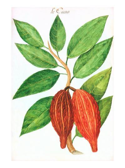 Cacao Pods, Source of Chocolate--Art Print