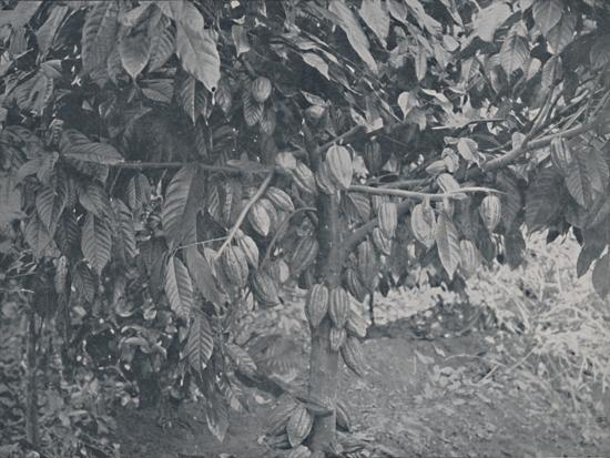'Cacao Tree', 1924-J.S Fry & Sons-Photographic Print