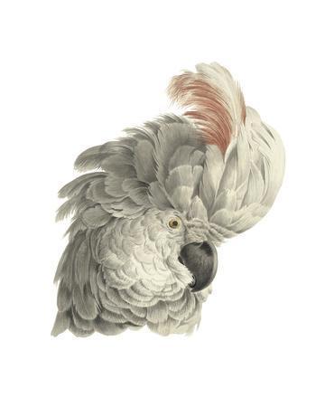 https://imgc.artprintimages.com/img/print/cacatua-moluccensis_u-l-f9l4kz0.jpg?p=0