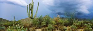Cacti Growing at Saguaro National Park, Tucson, Arizona, USA