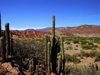 Cacti in Canon del Inca, Tupiza Chichas Range, Andes, Southwestern Bolivia, South America-Simon Montgomery-Photographic Print