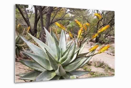 Cactus and Succulent Garden, Mountain Aloe, Tucson, Arizona, USA-Jamie & Judy Wild-Metal Print