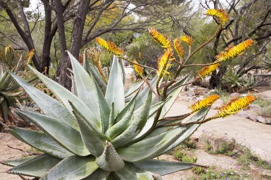 Cactus and Succulent Garden, Mountain Aloe, Tucson, Arizona, USA-Jamie & Judy Wild-Photographic Print
