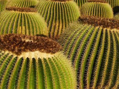 Cactus Garden of Guatiza, Lanzarote, Canary Islands, Spain, Europe--Photographic Print