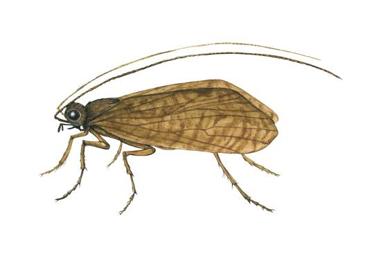 Caddis Fly (Ptilostomis Semifasciata), Insects-Encyclopaedia Britannica-Art Print