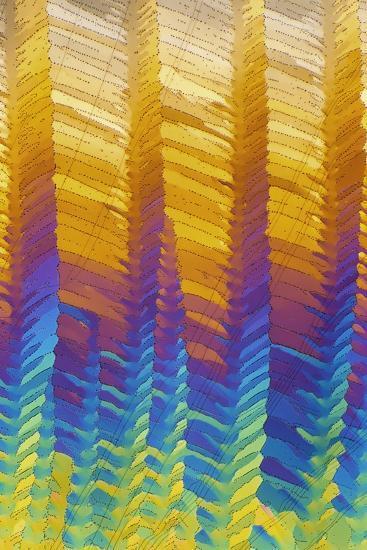 Caffeine Crystals, Light Micrograph-David Parker-Photographic Print