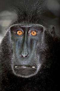 A Close Up Portrait of a Celebes Crested Macaque, Macaca Nigra by Cagan Sekercioglu