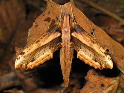 A Close Up Portrait of a Hawk Moth