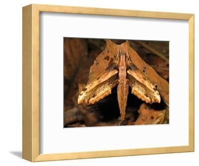 A Close Up Portrait of a Hawk Moth