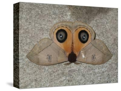 A Close Up View of an Owl Moth, Automeris Belti