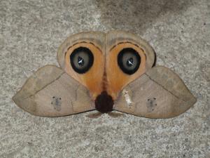 A Close Up View of an Owl Moth, Automeris Belti by Cagan Sekercioglu